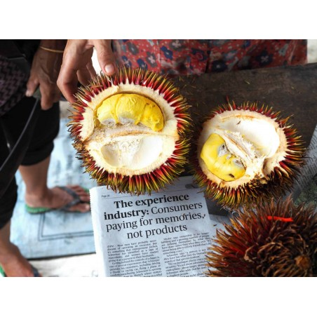 Graines de Durian rouges, Durian Marangang (Durio dulcis)