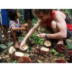 Sementes Durian Vermelhas, Durian Marangang (Durio dulcis)