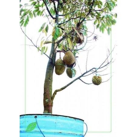 Red Durian Seeds, Durian Marangang (Durio dulcis)