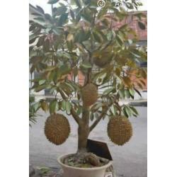 Seme Crvenog Duriana, Durian Marangang (Durio dulcis)