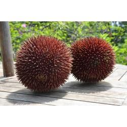 Semillas de durian rojo, Durian Marangang (Durio dulcis)