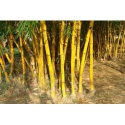Goldrohrbambus Samen (Phyllostachys aurea)