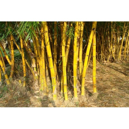 Golden Bamboo Seeds - fish pole bamboo (Phyllostachys aurea)