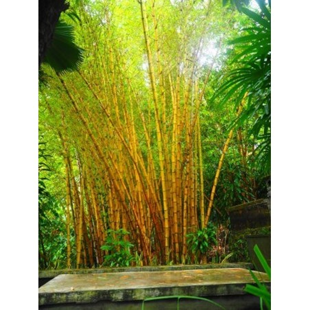 SOMMARMALÖRT Fröer (Artemisia annua)