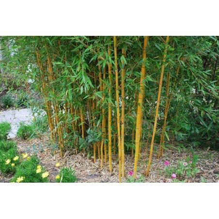 Slatki Pelin Seme – Biljka Koja Leci Rak (Artemisia annua)