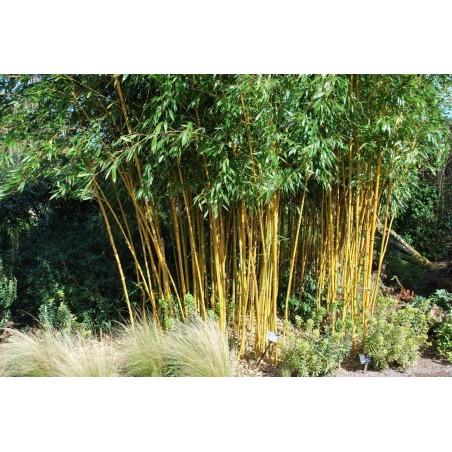 Zlatni Bambus Seme (Phillostachis aurea)