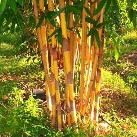 Graines de Bambou Doré (Phyllostachys aurea).