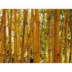 Χρυσός μπαμπού σπόροι (Phyllostachys aurea)