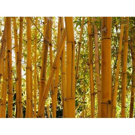 Sementes de Bambu Amarelo (Phyllostachys aurea)