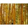 Semi di Bambù Dorato (Phyllostachys aurea)