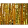Semillas de Bambú Doradas (Phyllostachys aurea)
