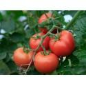 Rare Heirloom HMONG RED Cucumber Seeds