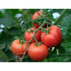 Tomatfrön Novosadski Jabucar