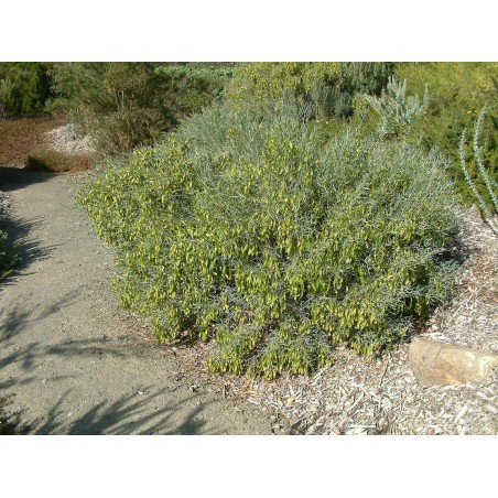 Semillas de Jojoba (Simmondsia chinensis)