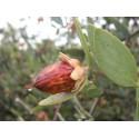 RED SANDALWOOD Seme (Adenanthera pavonina)