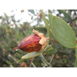 Jojoba, Simmondsia chinensis, Seeds (Edible)