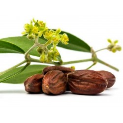 Jojoba, Simmondsia chinensis, Seeds (Edible)