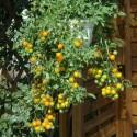 Graines de CONDORI ou CARDINALIER (Adenanthera pavonina)