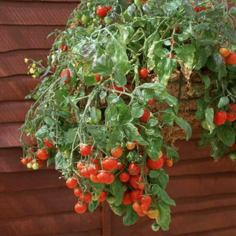 Sementes de Tomate Tumbling Tom Vermelho e Amarelo
