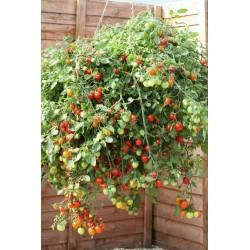 Tomatfrö Röd och gul Tumbling Tom