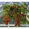 Μαύροι αβοκάντο σπόροι (Persea americana)