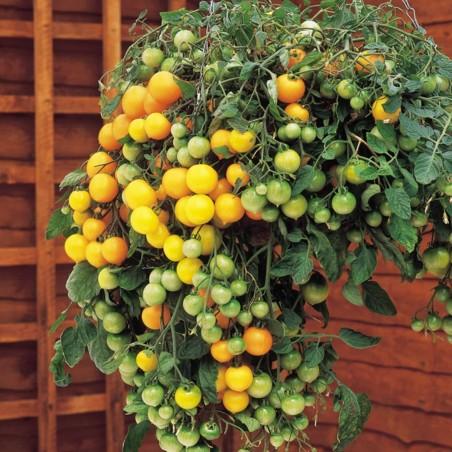 Red & Yellow Tumbling Tom Tomato Seeds