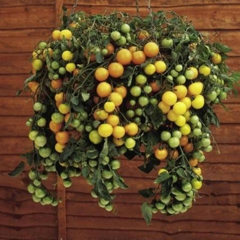 Semillas de tomate rojo y amarillo Tumbling Tom