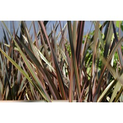 New Zealand flax - Flax lily Seeds