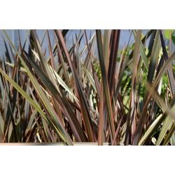 Nyzeeländskt Lin Rara Växter Frön