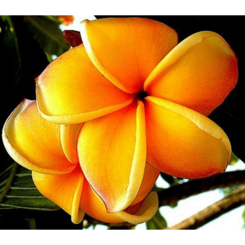 "Plumeria (Frangipani) Seme ""Mango"""