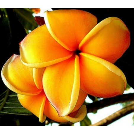 """Plumeria (Frangipani) """"Mango"""" frische Samen"""