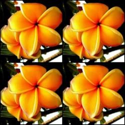 "Semi di Plumeria (Frangipani) ""Mango"""