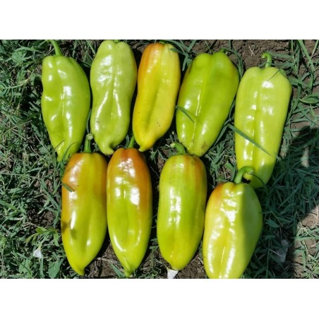 Σπόροι γλυκού πιπεριού DUKAT