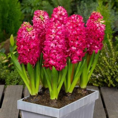Hyazinthen 'Pink Pearl' Zwiebeln (Verschiedene Typen)