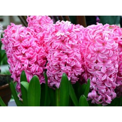 Hyacinthus orientalis bulbs (different types)
