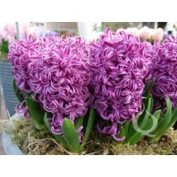 Bulbeuses de Hyacinthus (Différents types)