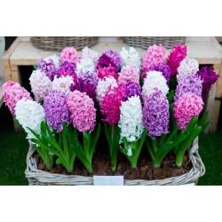 βολβοί Υάκινθος ή Ζουμπούλι (διαφορετικοι τυποι) (Hyacinthus)