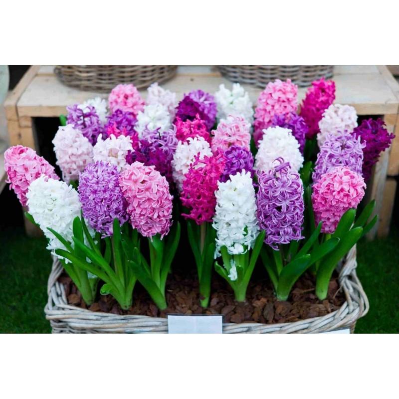hyazinthen zwiebeln verschiedene typen preis f r 100 zwiebeln bulbs in pack 1 art purple sensation