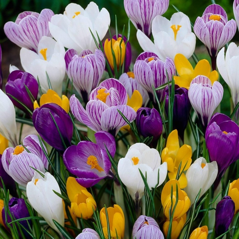 Crocus botanical mix -bulbs