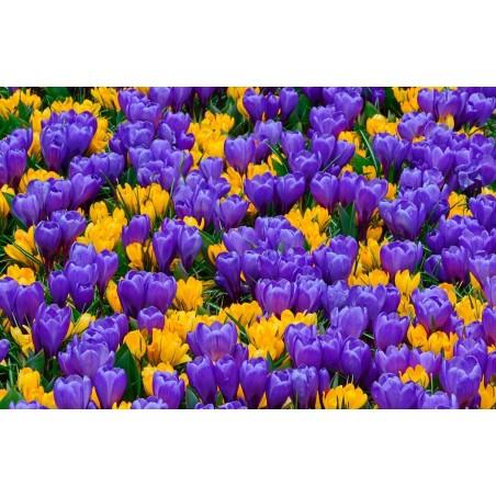 Σπόροι τσεροκι ποικιλια ντοματας - Cherokee Purple