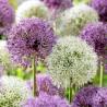 Riesiger Lauch Allium Sensation Mix - Zwiebeln