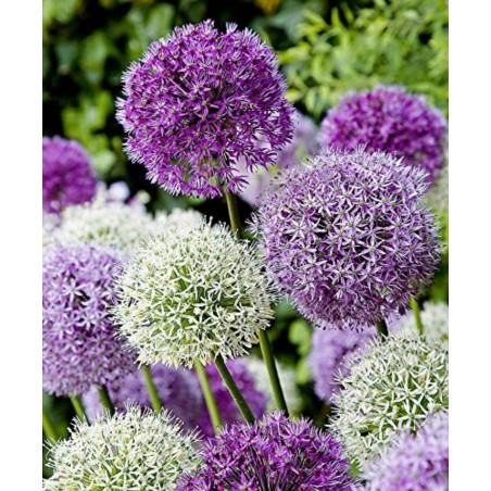 Allium sensation mix - lukovice