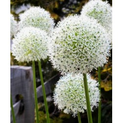 Giant leek Allium Sensation Mix - bulbs