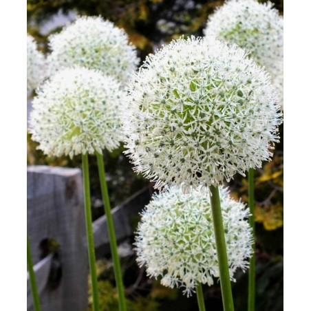 White Wonder Beli Paradajz Seme