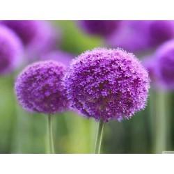 Allium sensation mix - lukovice
