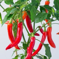"Serbische scharfe Chili ""Crvena feferona"""