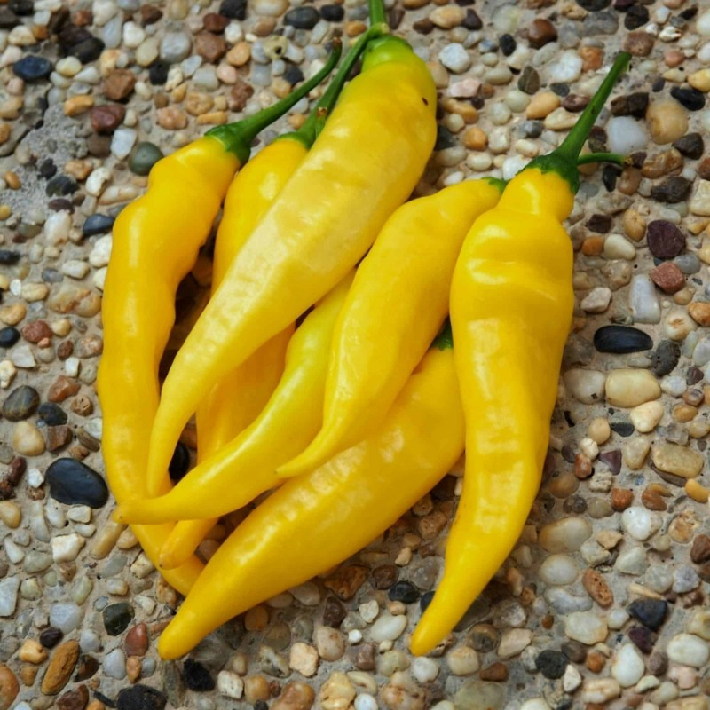 Graines De Piment Aji Pineapple