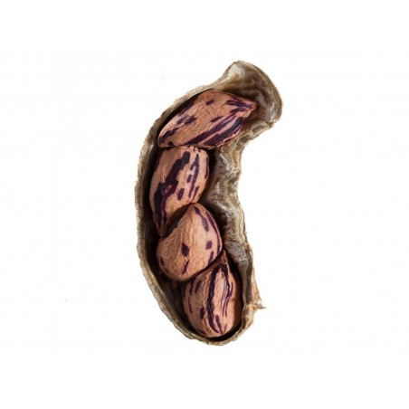 Tiger Erdnuss Samen (Arachis hypogaea)