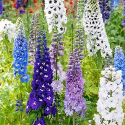 Σπόροι Rocket Larkspur