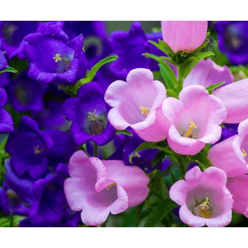 Canterbury Bells, Bell Flower Seed